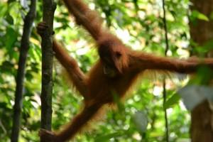 Un bébé orang-outan dans la foret de Sumatra jungle trek