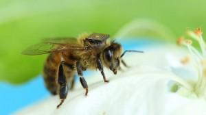 capteurs sur abeilles danger ecologie
